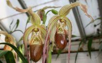 Орхидеи. Род Фрагмипедиум