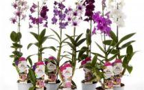 Орхидеи. Род Дендробиум