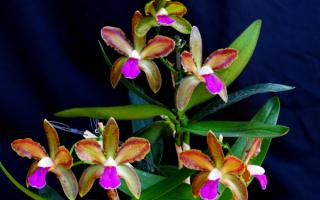 Наслаждаемся цветением орхидеи Каттлея
