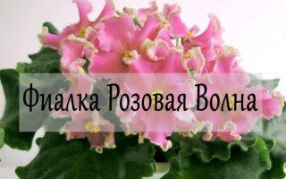 Фиалка Розовая Волна — уход и фото фиалки