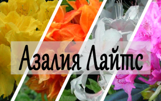 Азалия Лайтс — описание подсортов Голден, Мандарин, Уайт и Рози