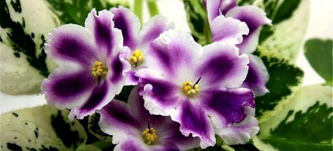 Почему не цветет фиалка дома?