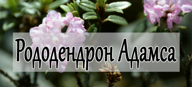 Свойства рододендрона Адамса