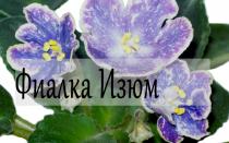 Фиалка Изюм, описание сорта с фото