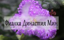 Фиалка Династия Мин — описание вида
