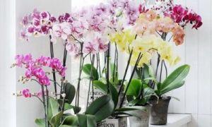 Как размножать орхидею в домашних условиях самостоятельно