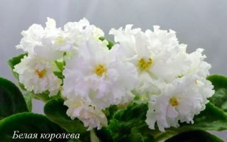 Особенности вида фиалка Белая Королева, уход и выращивание дома