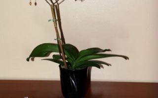 Уход за орхидеей после цветения.