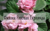 Фиалка Розовая Гирлянда — описание и фото