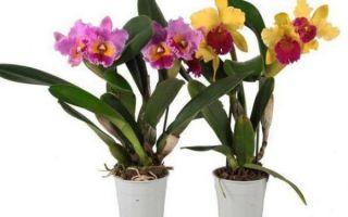 Уход за орхидеей Каттлея