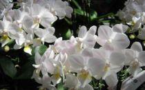 Период цветения орхидей