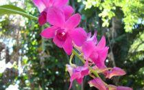 Учимся пересаживать орхидею Дендробиум правильно
