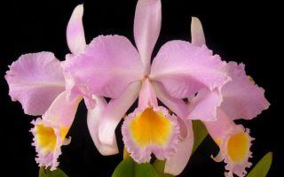 Орхидеи. Род Каттлея