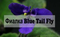 Фиалка Blue Tail Fly — описание вида