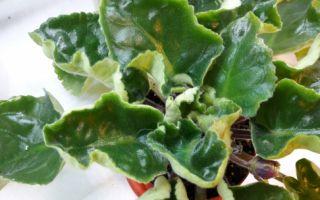 Почему сворачиваются листья фиалки?