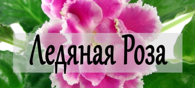 Фиалка Ледяная Роза – удачная селекция махровой фиалки