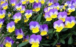 Трёхцветная фиалка – лечебные свойства