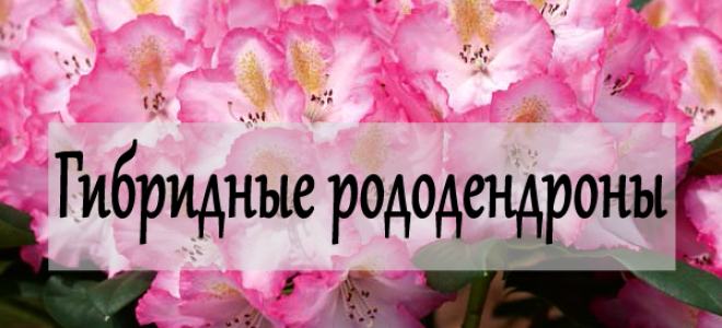 Гибридные рододендроны – описание и фото сортов