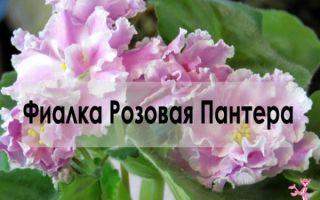 Фиалка Розовая Пантера — уход и выращивание дома