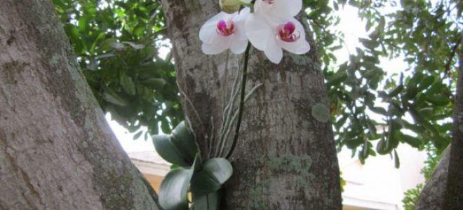 Орхидея Фаленопсис — описание вида