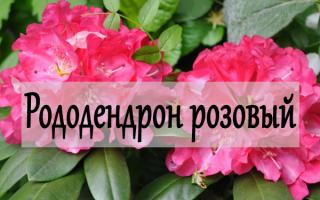 Рододендрон розовый – посадка и ход в саду