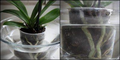 Погружение орхидеи