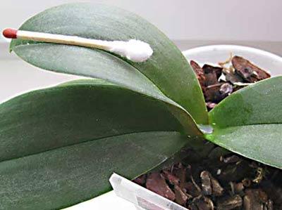 Вода в точке роста орхидеи