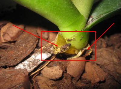Удаление старых листков орхидеи
