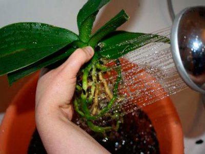Чистка корней орхидеи
