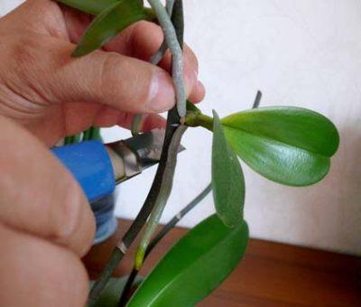 Обрезание детки фаленопсис