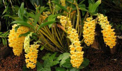 Дендробиум густоцветковый