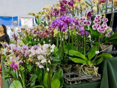 Цветущие Фаленопсисы