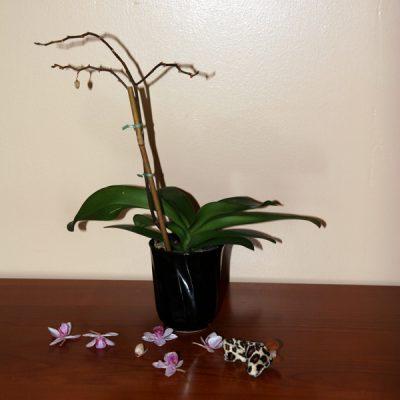 отцвела орхидея