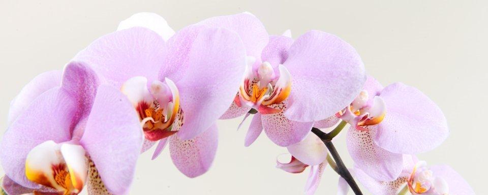Orhid 1