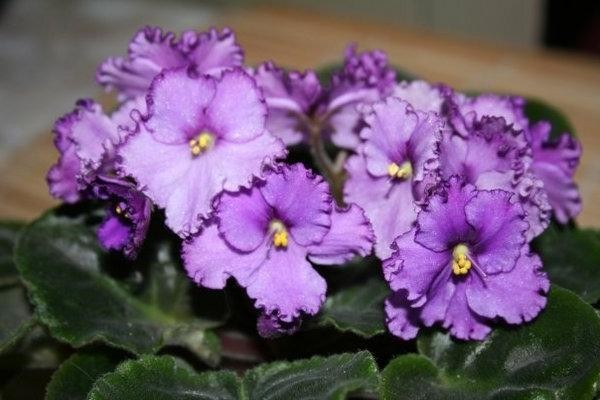 Фиалка Любимая дочка фиолетовая