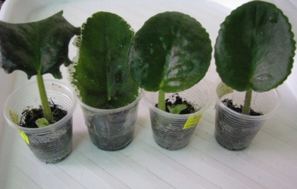 Размножение фиалки листком