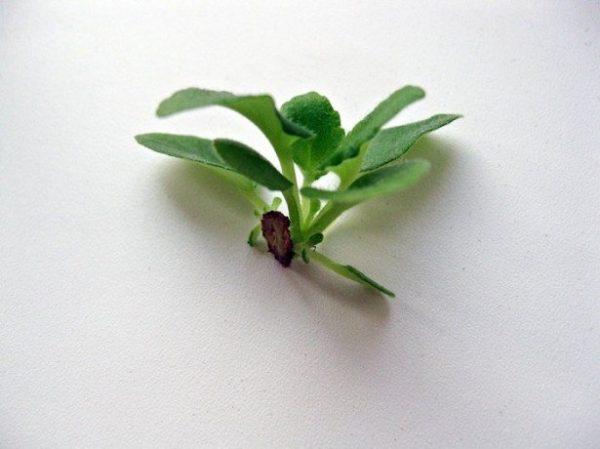 Размножение фиалки цветоносом