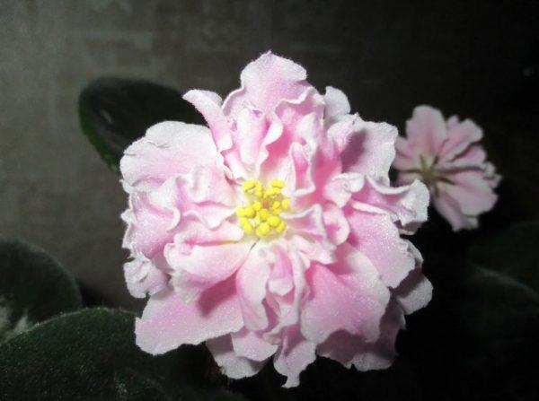 Цветок фиалки зефир