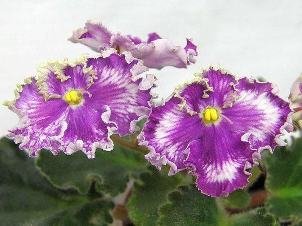 Цветок фиалка золушкин сон