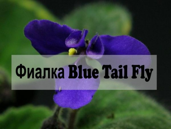 Фиалка Blue Tail Fly фото