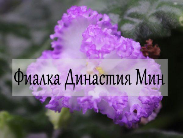 Фиалка Династия Минг фото