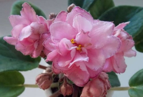 Фиалка Гирлянда розовая коршунова