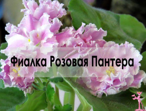 Фиалка дома Розовая Пантера фото