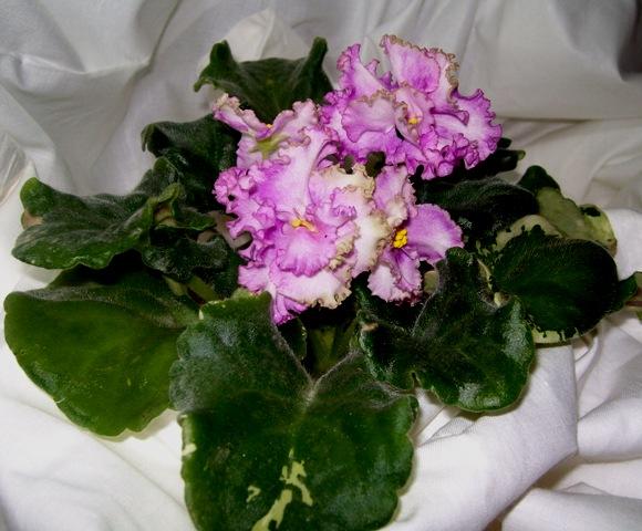 Цветок Династия Минг фото