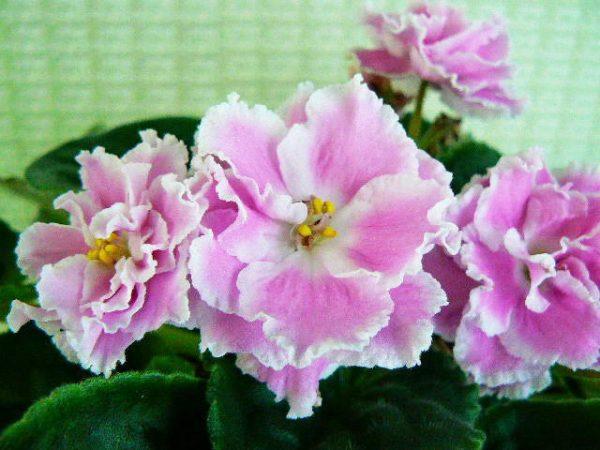 Цветущая фиалка Розовая Пантера