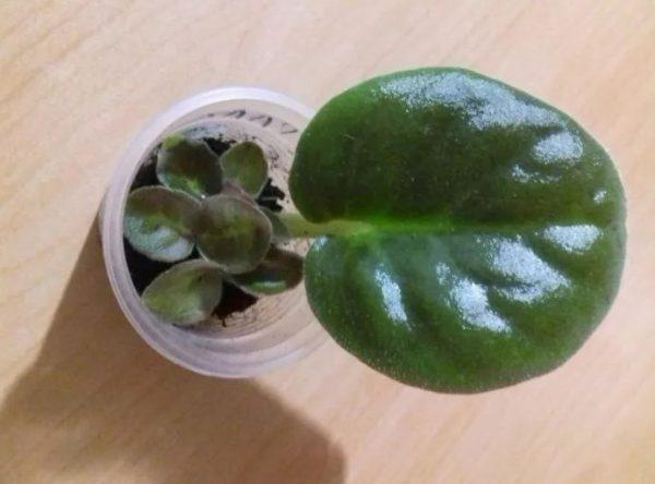Размножение листом фиалки тенец