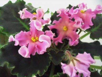 Розовая волна фиалка фото