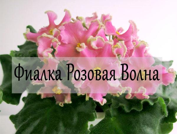 Цветение фиалки розовая волна