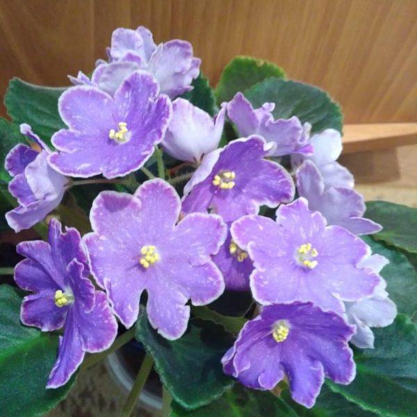 Фиалка изюм фото цветка