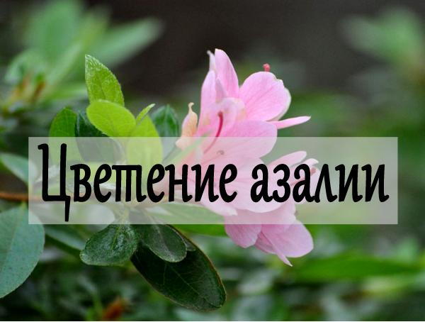 цветение азалии дома